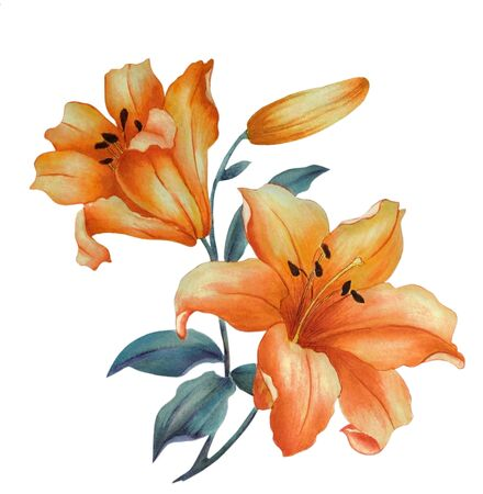 Watercolor with yellow lily flowers, isolated on white background. Can be used as romantic background for wedding invitations, greeting postcards, prints, textile design, packaging design. Stock Photo