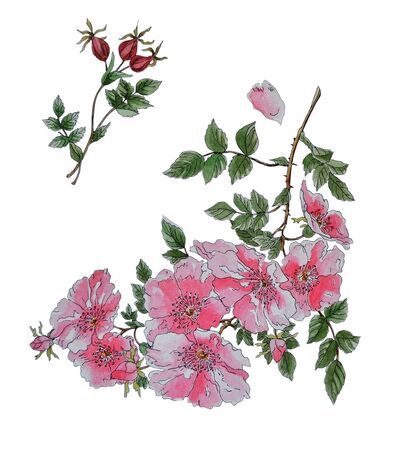 Watercolor illustration with flowering rosehips branch and several ripe red berries. The illustration is handmade in Chinese styl, isolated on white background. Banco de Imagens