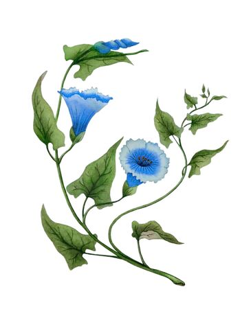 Watercolor with delicate morning glory flowers, blue bindweed. The illustration is handmade in Chinese style, isolated on white background.