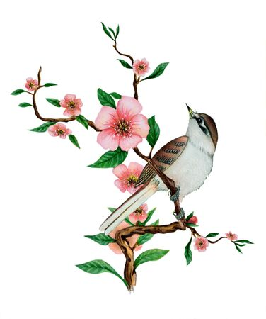 Watercolor traditional Chinese painting of flowers, cherry blossom and bird on tree, on white background. Illustration executed in traditional chinese style, isolated on white background.