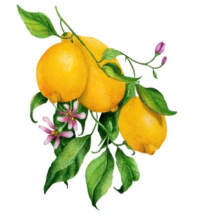 Watercolor illustration with a branch of yellow ripe lemons and flowers. Illustration executed in traditional �hinese style, isolated on white background.