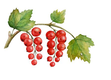 Watercolor with red currant berries on a branch with leaves. Isolated on a white background. Can be used as romantic background, greeting postcards, printed, textile design, packaging design. Stock fotó