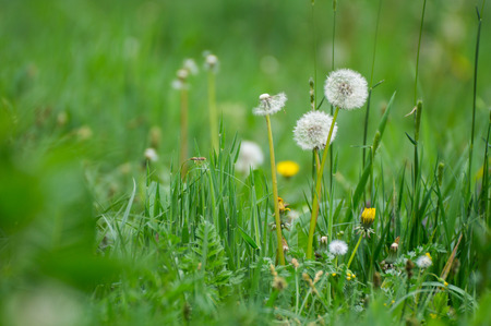 Close up view of three dandelions photo