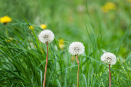 Dandelions in decreasing position photo