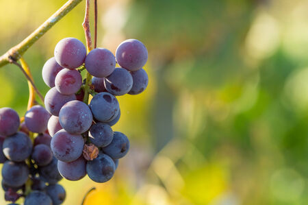 treated: Treated blue grapes with cupric sulphate