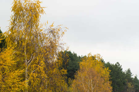 Yellow leaved trees next to the green pines photo