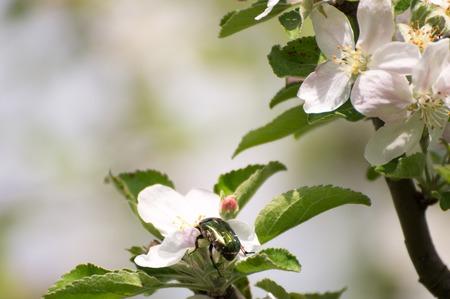 albero di mele: bug verde su un fiore fiore