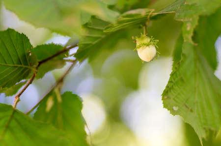 hazelnut tree: A hazelnut handing from the hazelnut tree