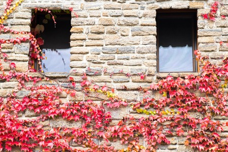 Two window on a brick made house with creeper plant on it Stock Photo