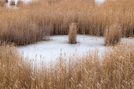 Frozen pond in middle of reeds