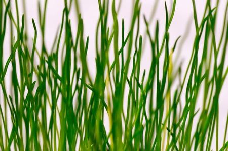 Fresh young grass macro shot Stock Photo