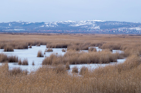 Landscape picture of a frozen lake with reeds