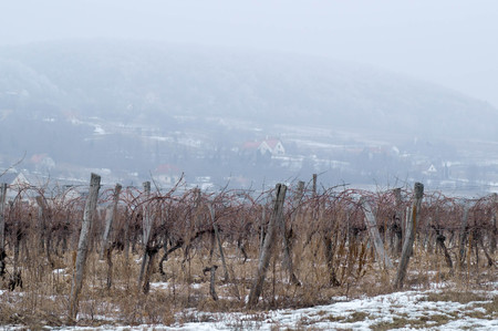 Many grapevines in snowy weather