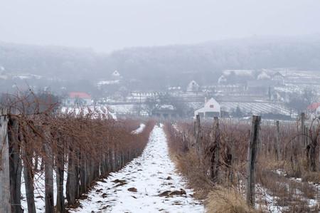 Grapevine farm in winter time