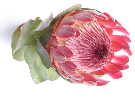 Sugar bush Protea flower on white background