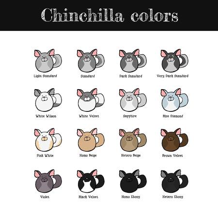 phenotype: Set of some common chinchilla colors. Hand drawn chinchillas. Vector illustration.