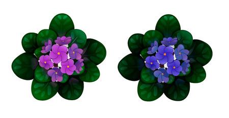 Set of african violets, violet and blue