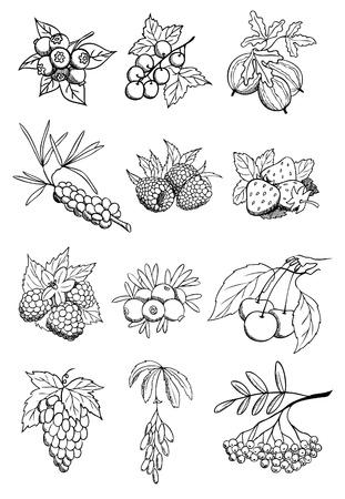 black berry: wild and garden berry vector set