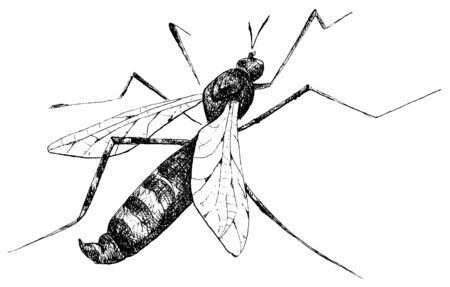 marco: detailed mosquito pencil drawing style, vector
