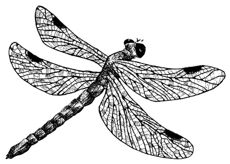 black and white dragon: detailed dragonfly pencil drawing style, vector Illustration