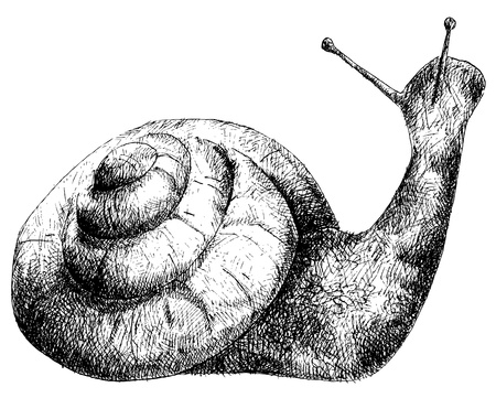 salyangoz: detailed snail pencil drawing style, vector