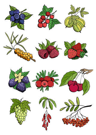 wild and garden berry vector set Stock Vector - 10200135