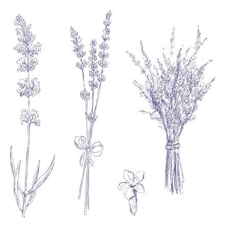 lavendel potloodtekening vector set