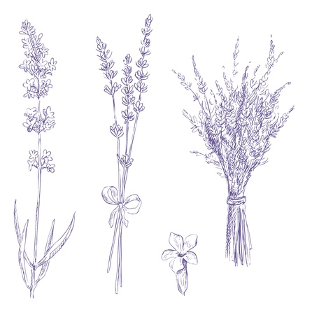 herb garden: lavender pencil drawing vector set