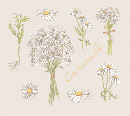 fragrant bouquet: camomile hand drawn set
