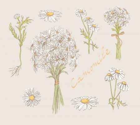 camomiles macro: camomile hand drawn set