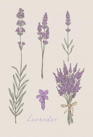 fiori di lavanda: disegnato a mano lavanda set Vettoriali