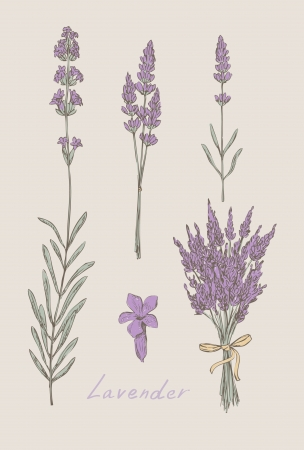 macro flower: lavender hand drawn set