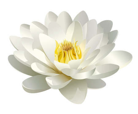 flower close up: realistic white water lily vector Illustration