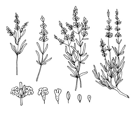 lavender sketch vector set Illustration