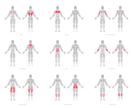 Menselijke spieren anatomie model vector
