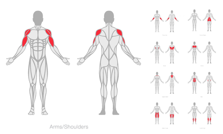Human muscles anatomy model vector