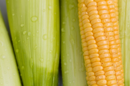 Fresh corn cob photo
