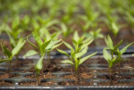 Fresh pepper seedlings in the greenhouse Stok Fotoğraf