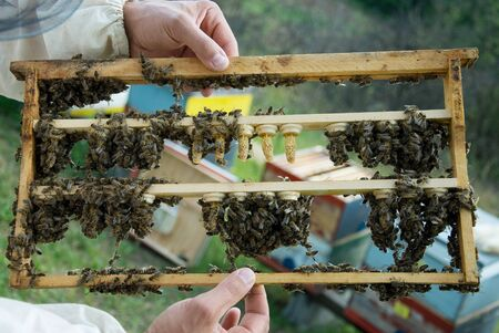 praiseworthy: Breeding queen bees Stock Photo