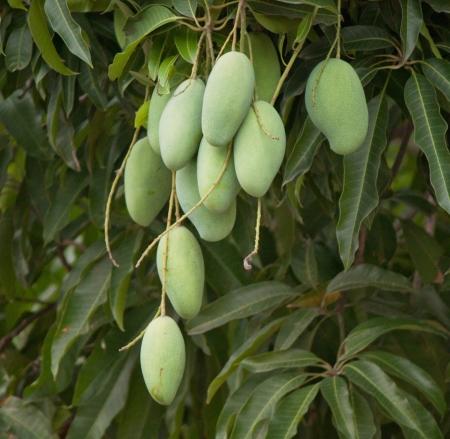 exotic fruits: mango on tree