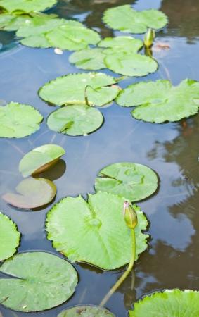 lotus leaf in pond