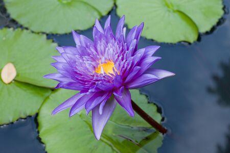 beautiful violet lotus