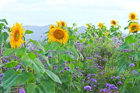 yellow flower in mountain ,Asia Stock Photo