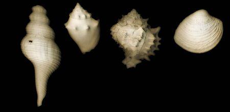 shells sepia