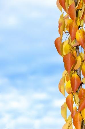 Levendige herfst tak op de abrikozenboom. Van goudgeel tot oker. Stockfoto