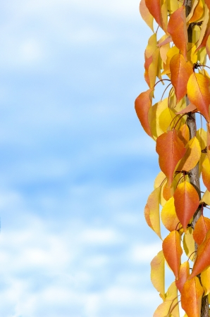 Vivid autumn branch on the apricot tree. From golden yellow to ocher. Stock Photo