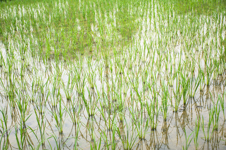 baby rice: A baby rice are growing in the field.