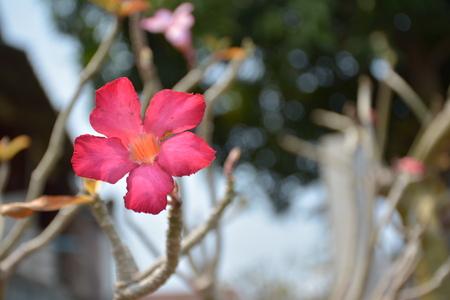 obesum: Obesum adenium flower a desert rose.