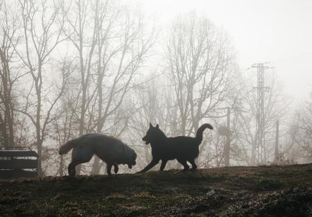 dogs playing: dos perros jugando en la niebla al amanecer