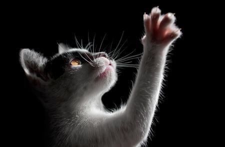 Katze auf schwarzem Hintergrund Standard-Bild - 38868481